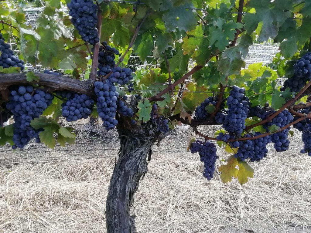 La viticultura